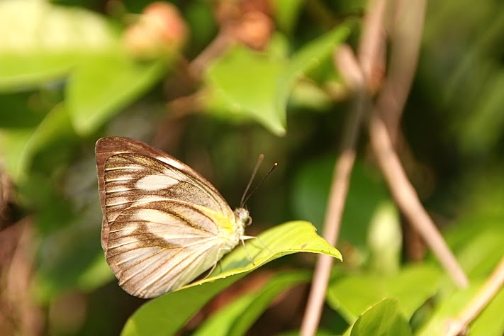 The Striped Albatross perches on a leaf after a long chase.
