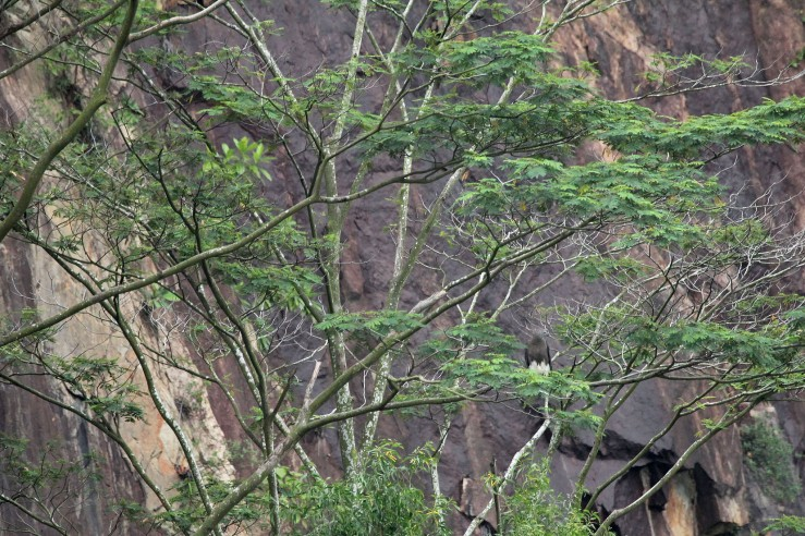 Grey-headed fish eagle, Ichthyophaga ichthyaetus-- if you can see it.
