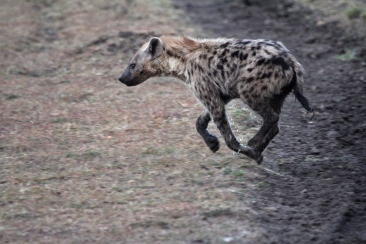 A juvenile hyena was in a rush to get somewhere - so much of a rush he decided not even to stop to pee.