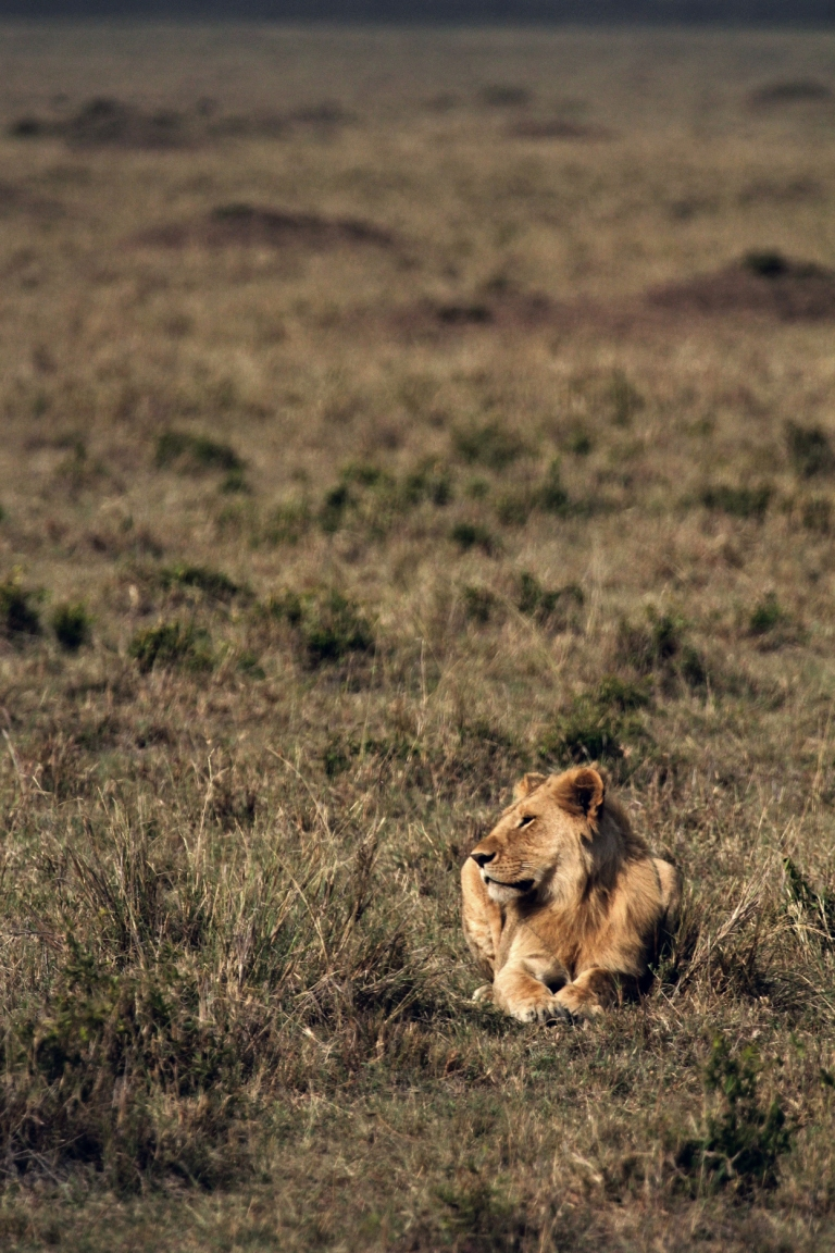 Lion_Processed