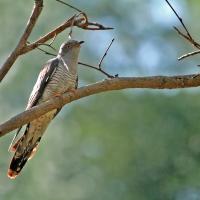 Cuckoo?
