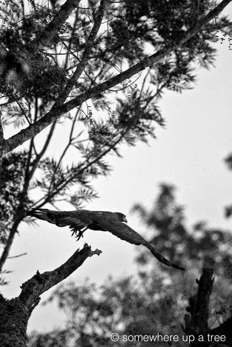 CrestedSerpentEagleFlight_ProcessedLogo