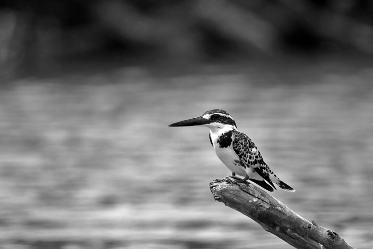 PiedKingfisher_Processed