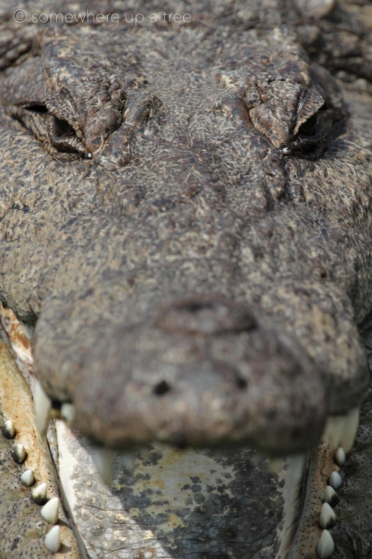 Crocodile_ProcessedLogo