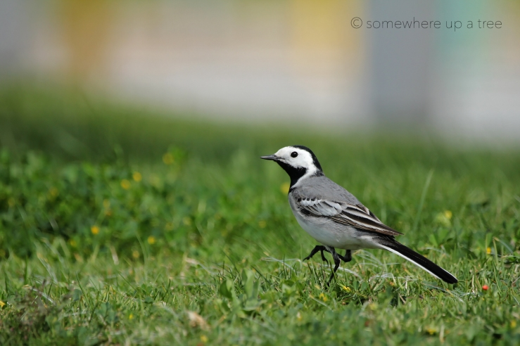 WhiteWagtail