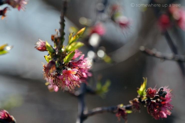 CherryBlossoms_ProcessedLogo