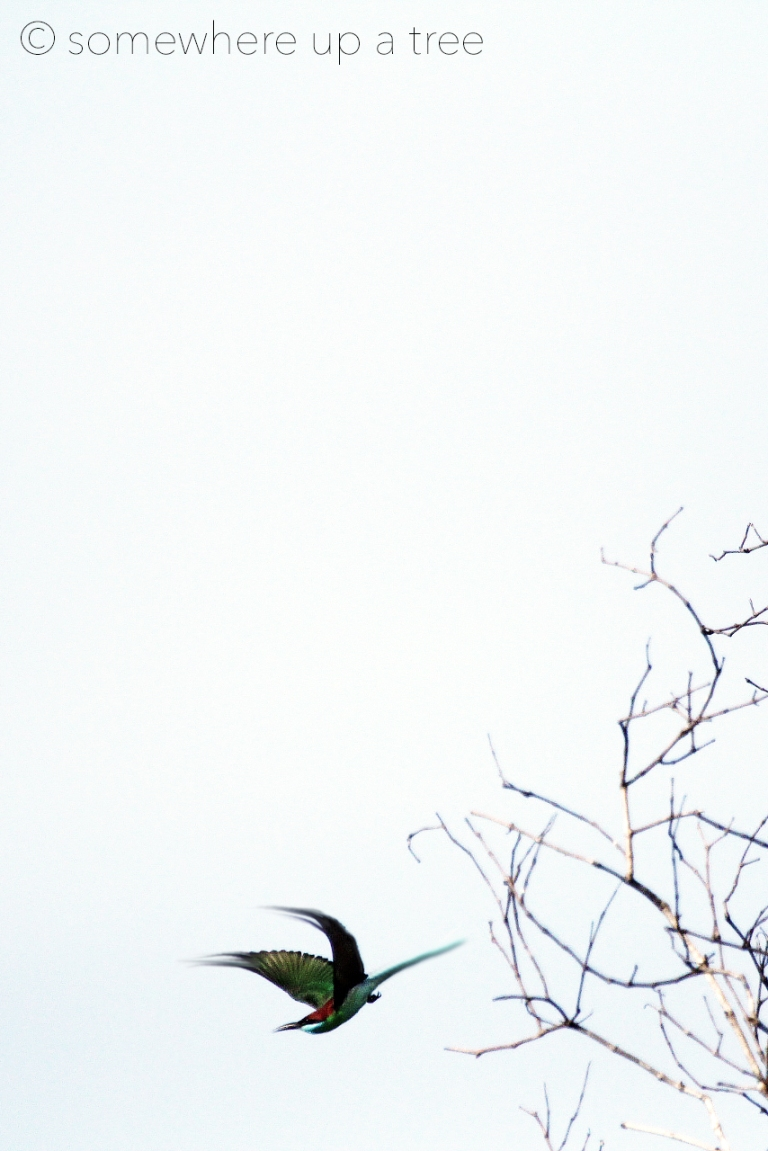 Bee-eaterArsty_Processed.jpg