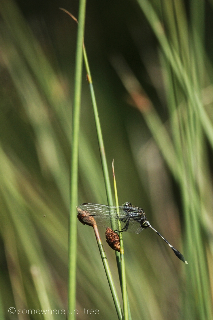 DragonflyAmongsthteReed_ProcessedLogo.jpg