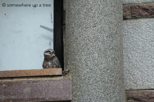 Owlets contemplate the world, sometimes. Or simply contemplate its stupidity. Either way, this one is praying for something.