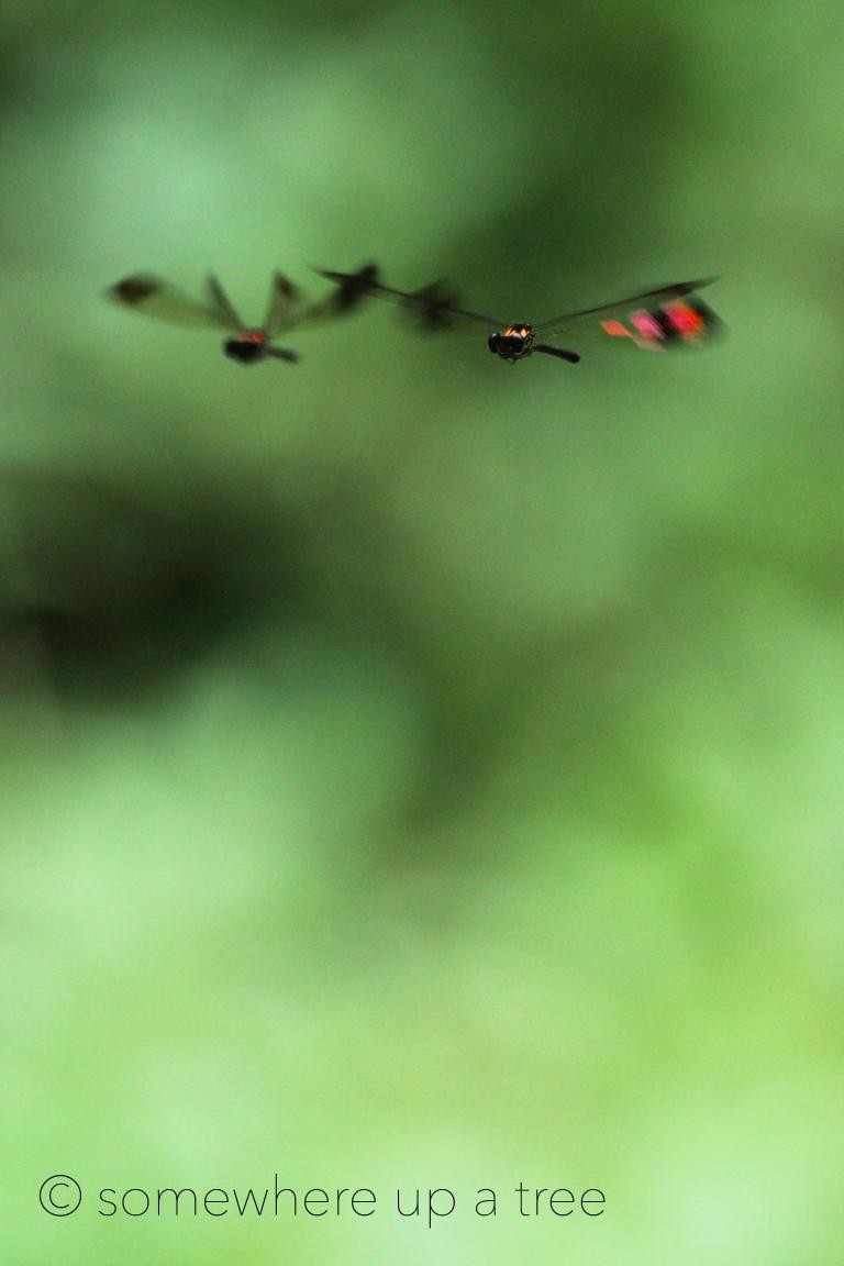 DragonfliesinFlight_processedLogo.jpg