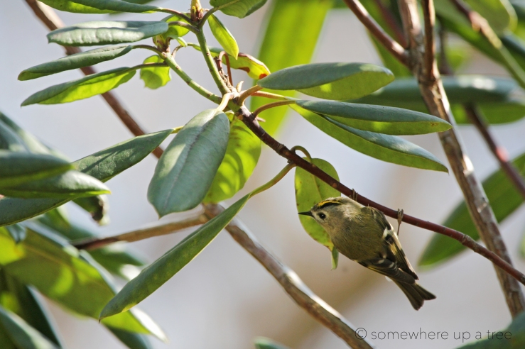 Goldcrest_Processed.jpg