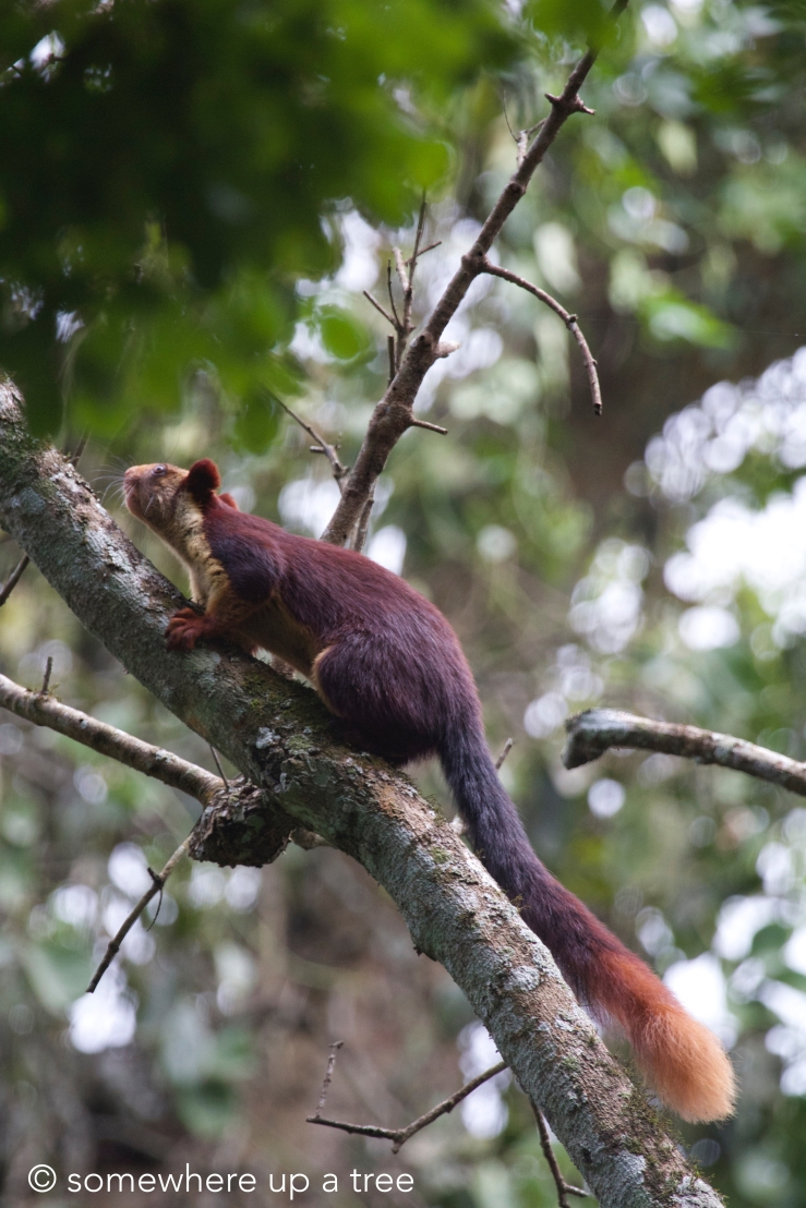 malabar giant squirrel logo.jpg