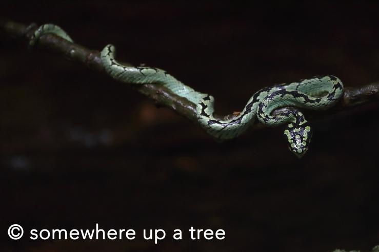 pit viper 2.jpg
