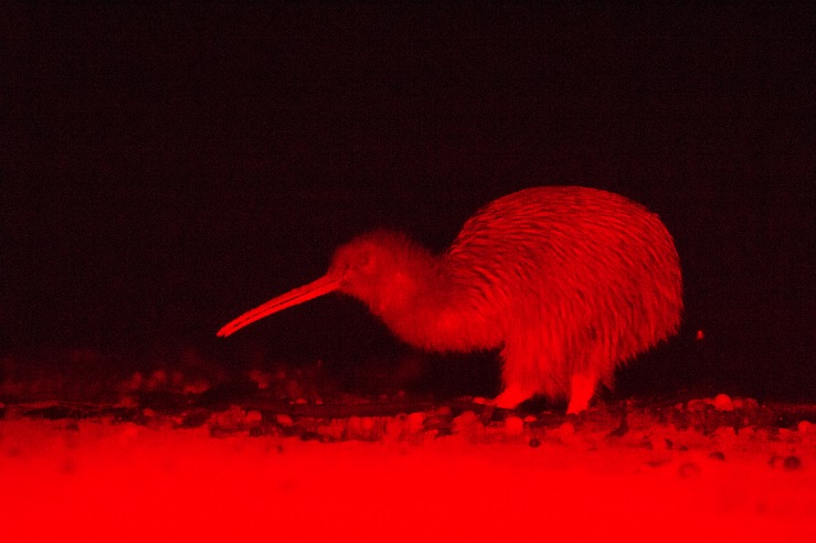 in which we find a strikingly blurry kiwi_Processed
