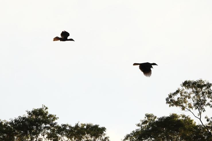 hornbill flight