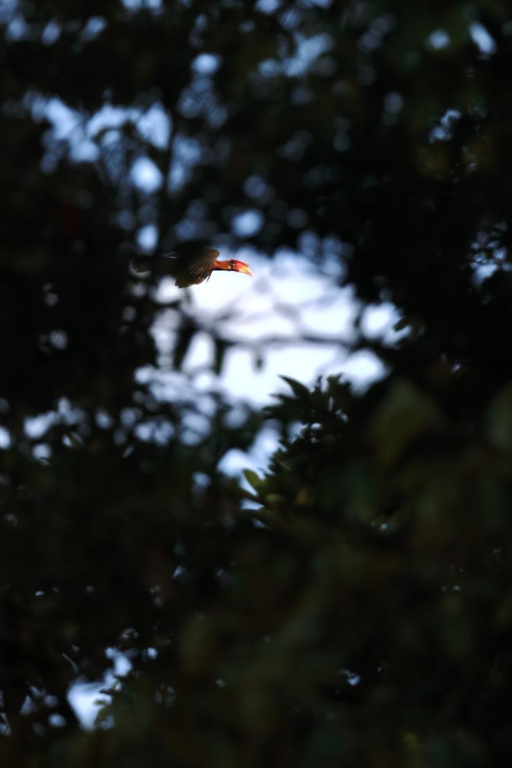 southern rufous hornbill